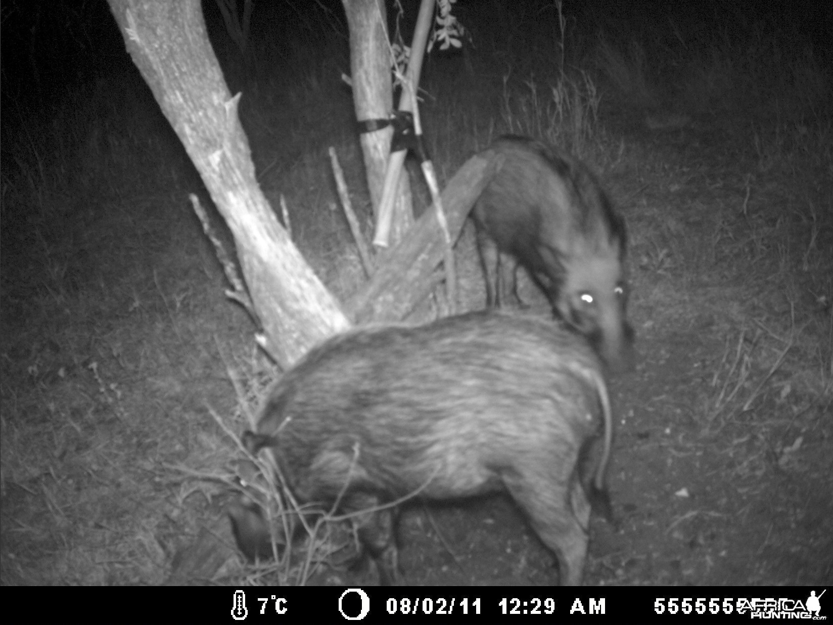 BUSH PIG TRAIL CAM