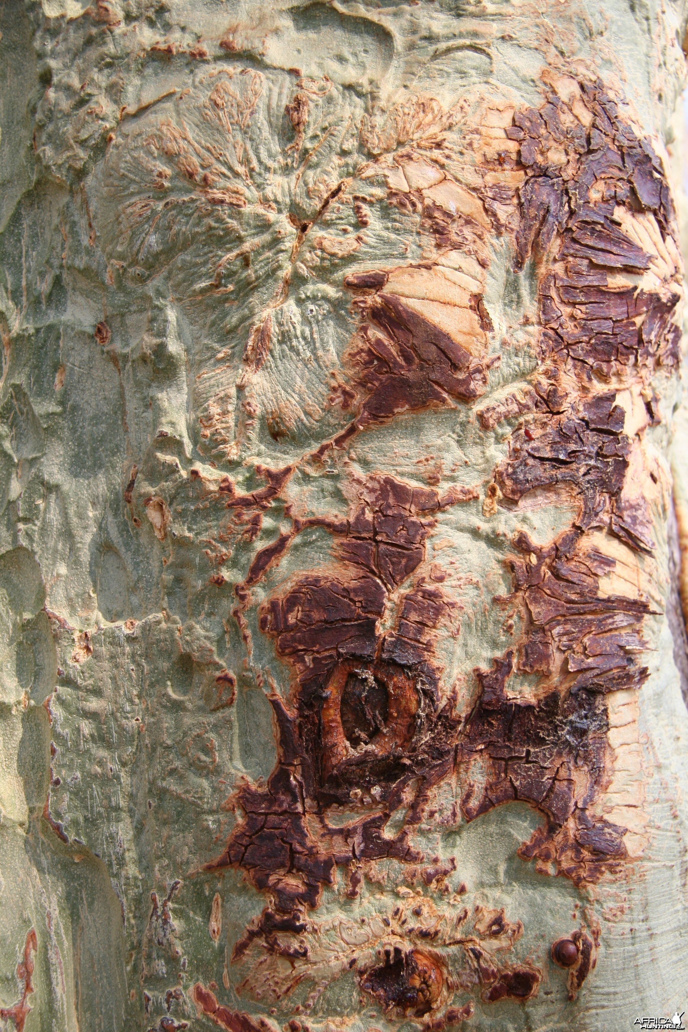 Fever Tree Bark
