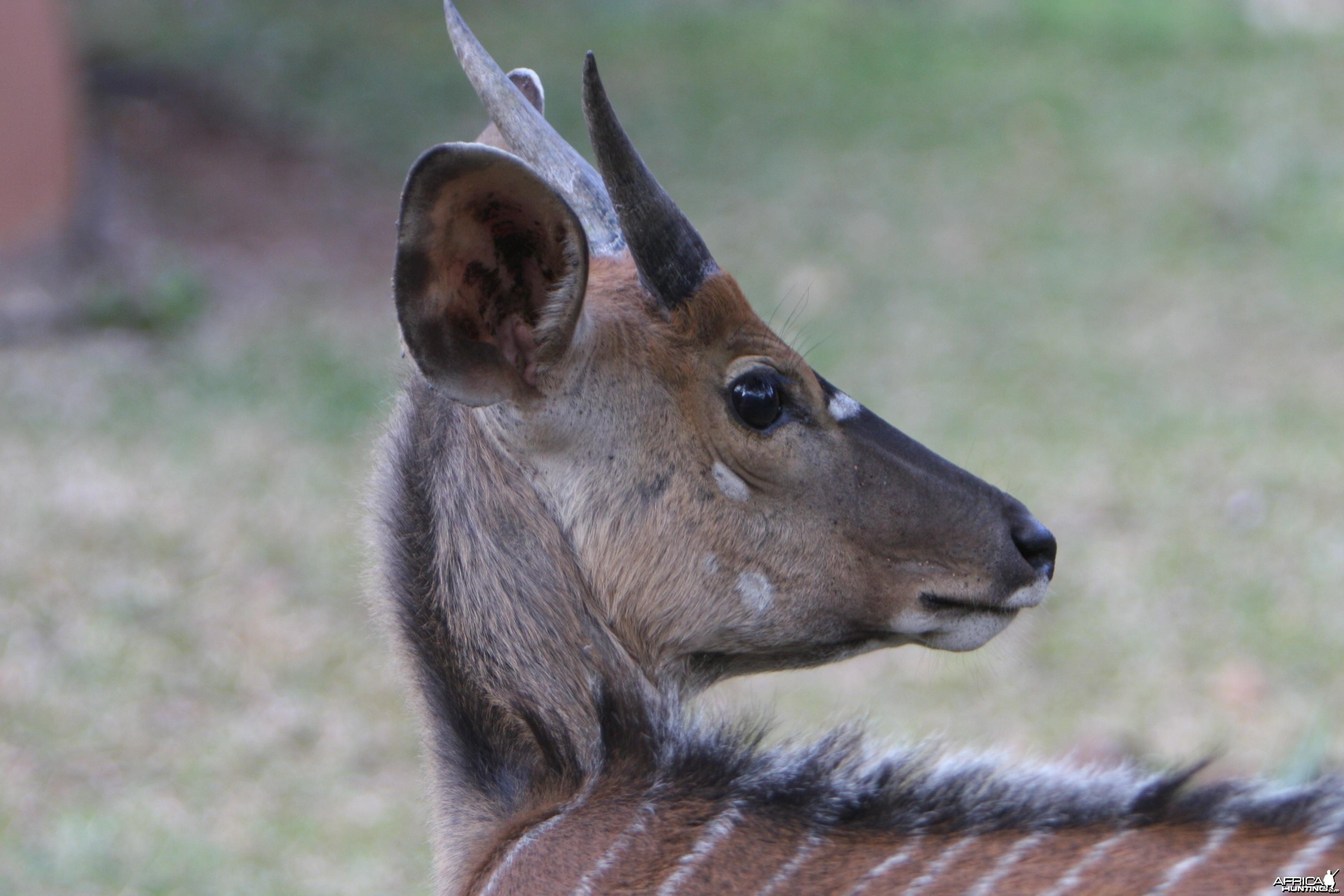Young Nyala