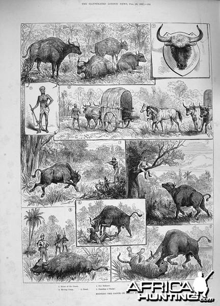 Hunting Indian Bison