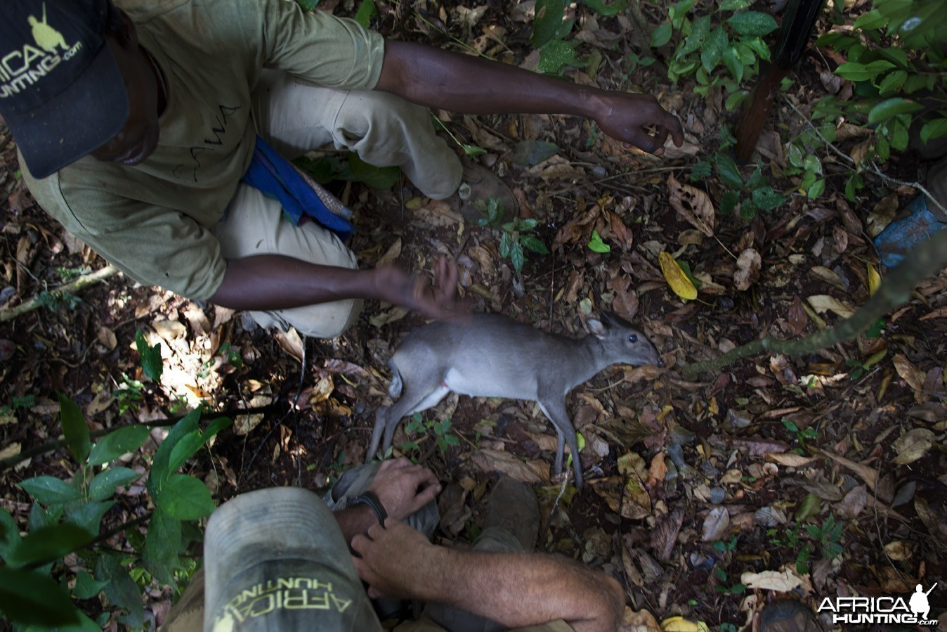 Blue Duiker hunted in CAR