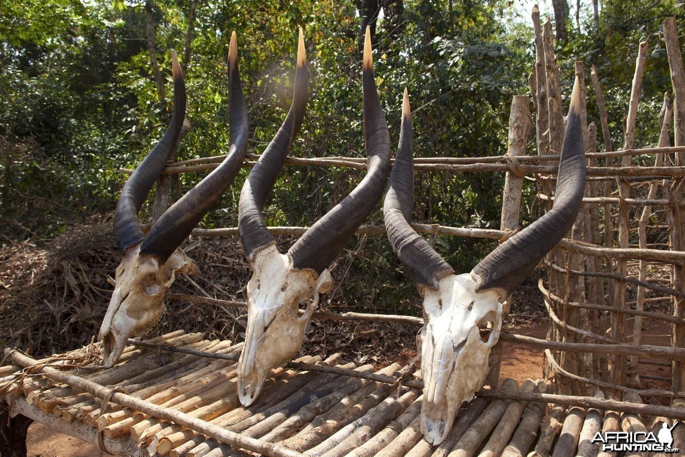 Three sets of Bongo horns