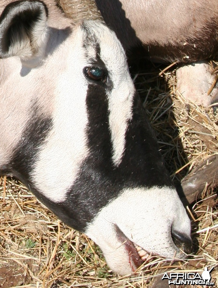 My Gemsbok Right Face