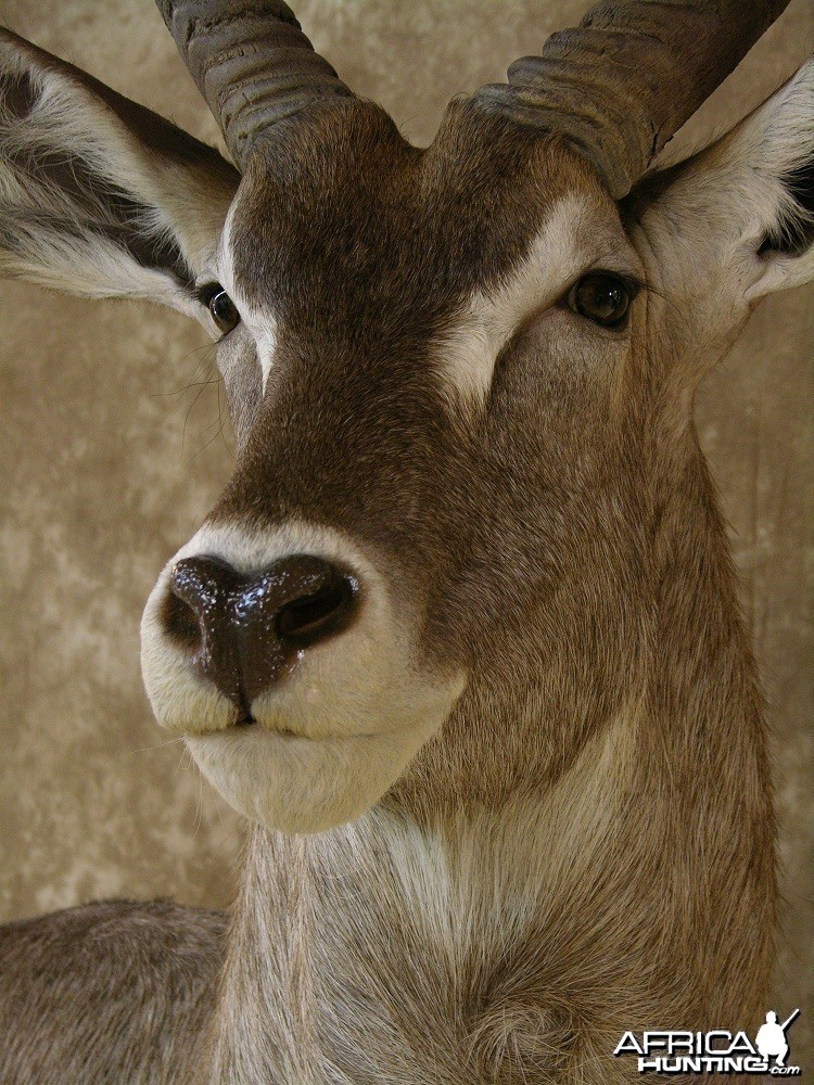 "32"" Waterbuck Wall Pedestal by The Artistry of Wildlife"