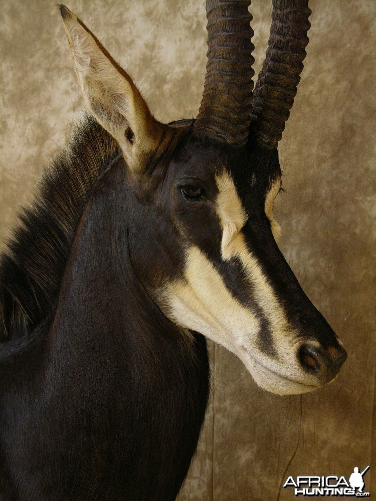 Sable Mount by The Artistry of Wildlife