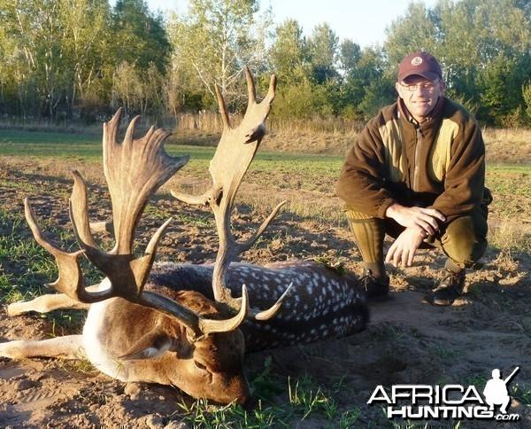 Fallow deer hunted in Hungary