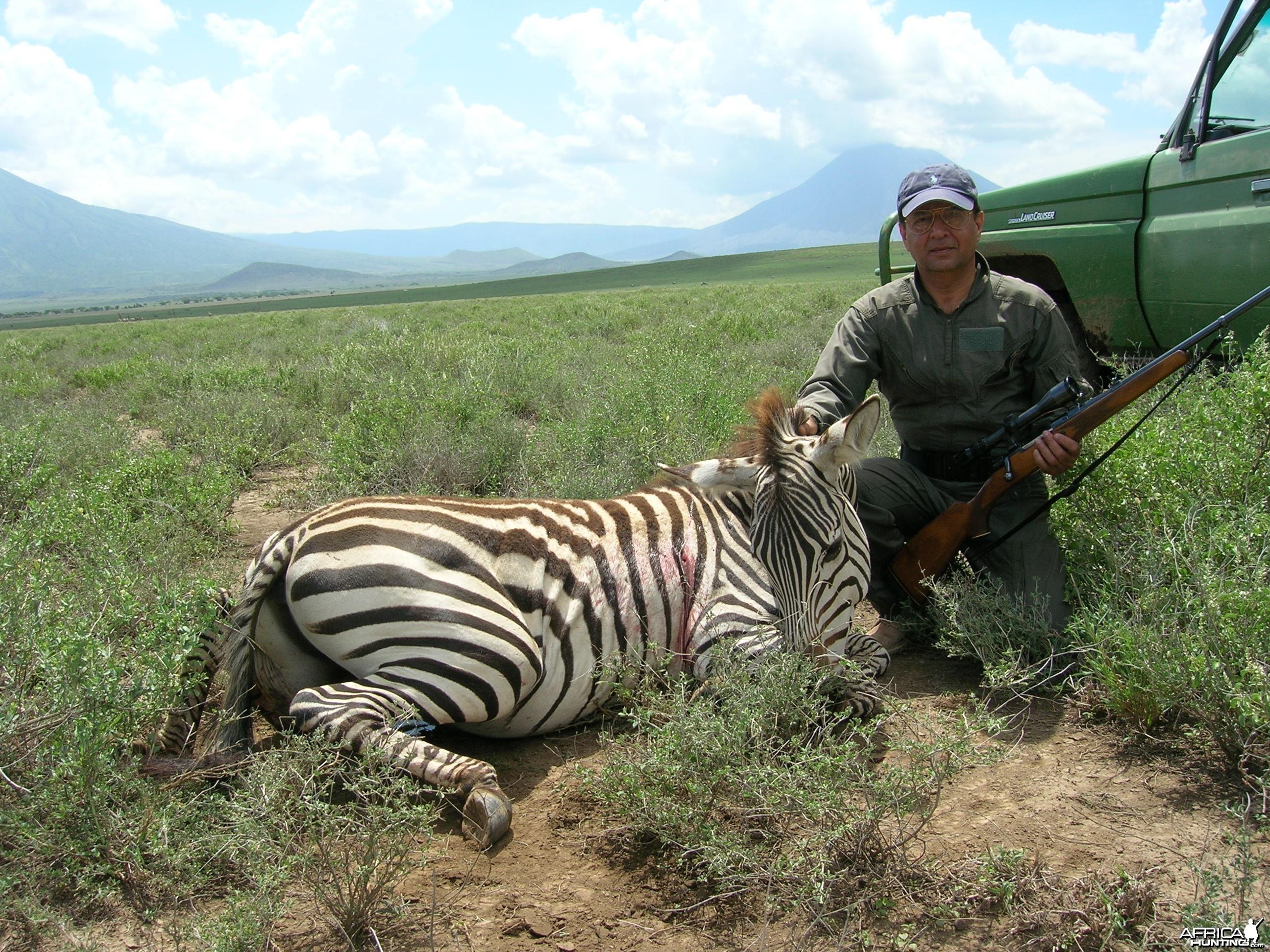 Stallion Zebra