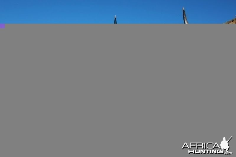 Kudu hunted in South Africa