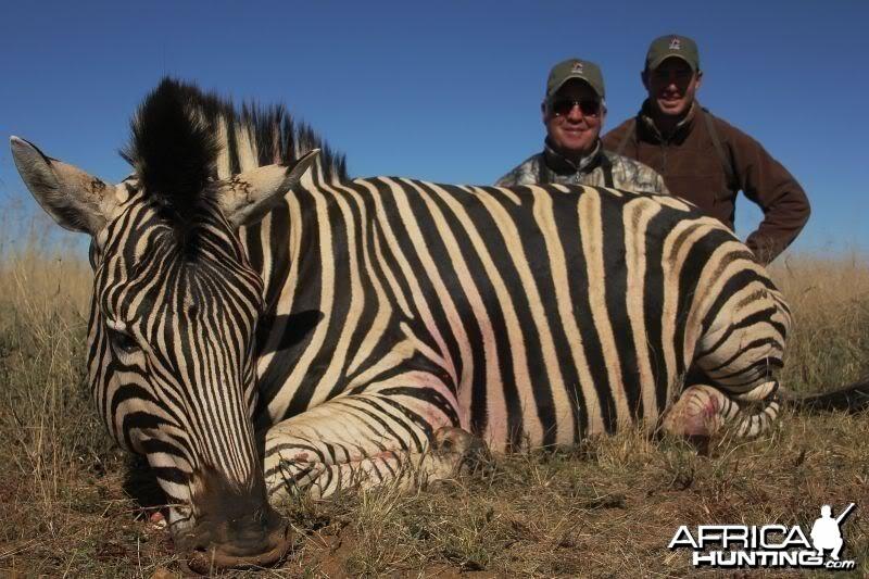 Zebra hunted in South Africa