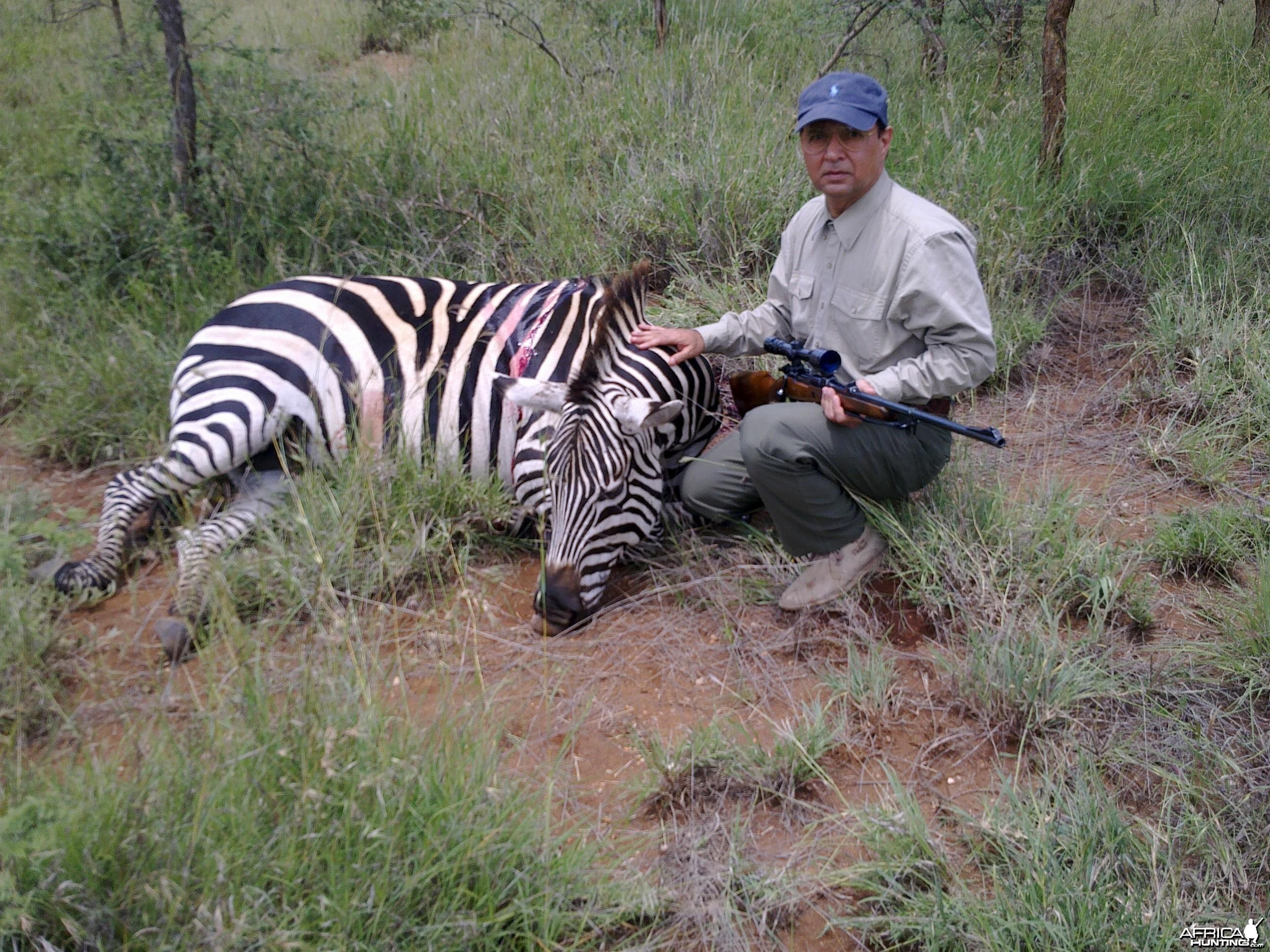 Mature Zebra