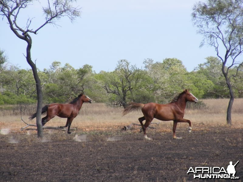 Horses Australia