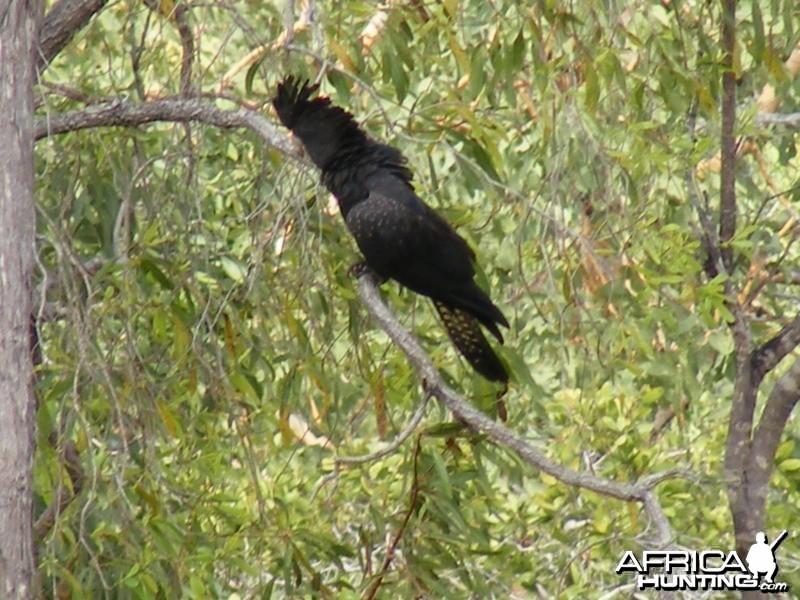 Parrot Australia