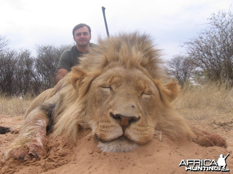 Lion with Savanna Hunting Safaris
