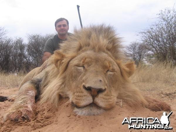 Lion with Savanna Hunting Safaris