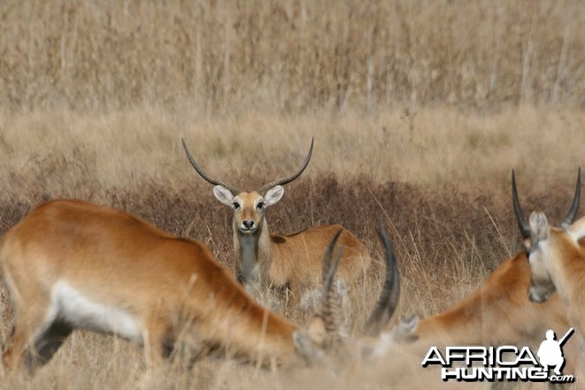 Kafue Lechwe on farm