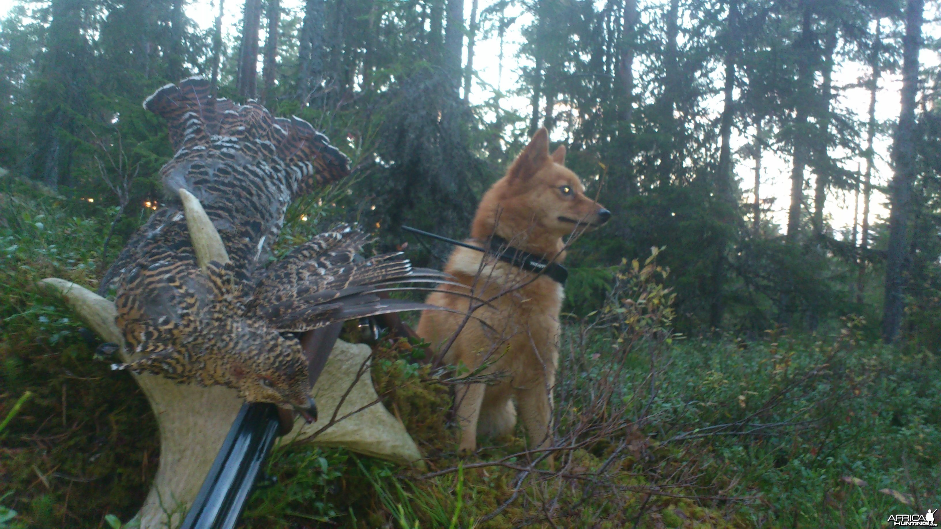 Capercaille hunting in Norway