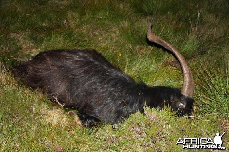 Scottish Feral Goat