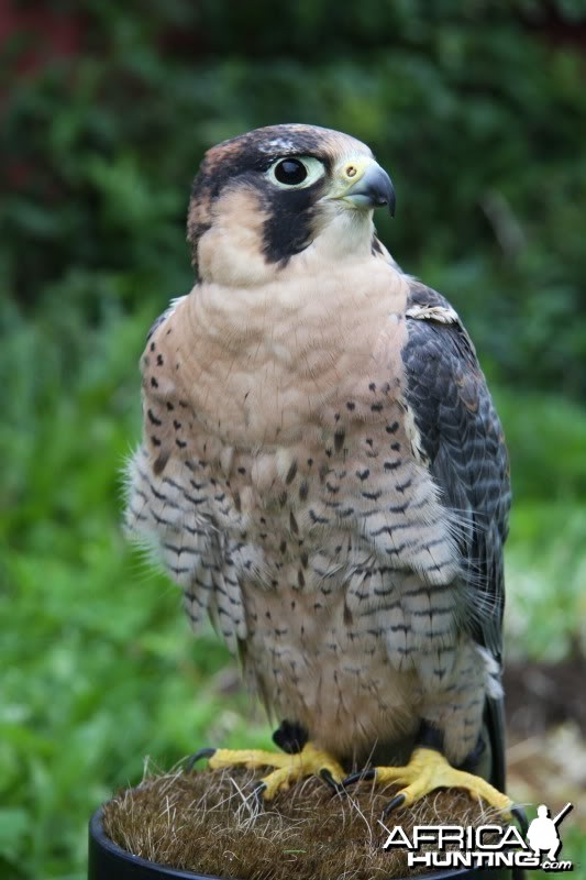 My hunting male Barbary Falcon