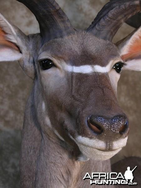 Taxidermy 62 inch Kudu