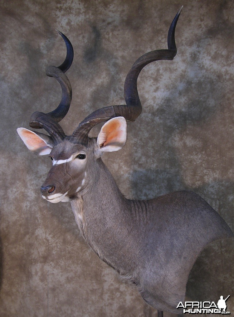 Taxidermy 62 inch Kudu