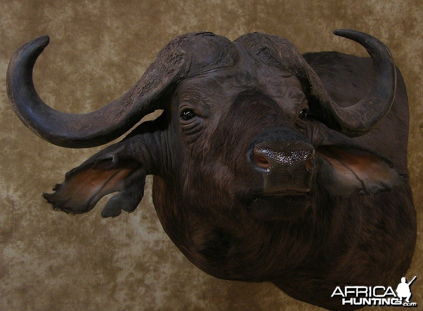 Taxidermy Nice Cape Buffalo