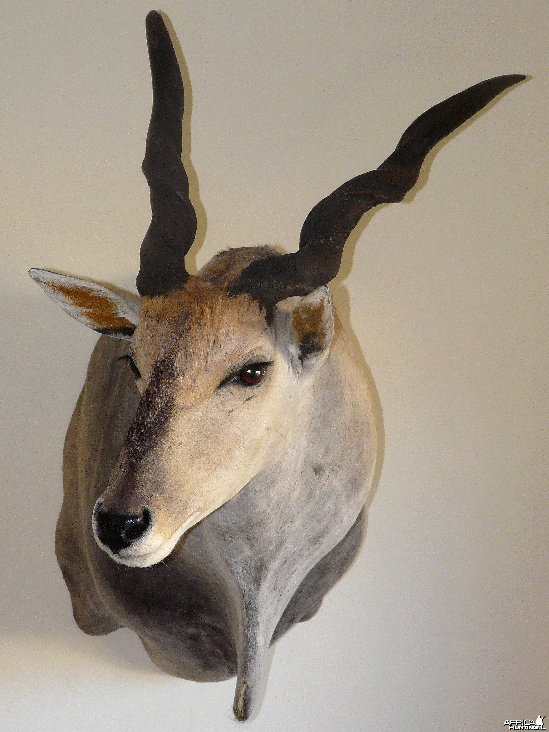 "Casper's Taxidermy in Namibia 46 6/8"" Cape Eland"