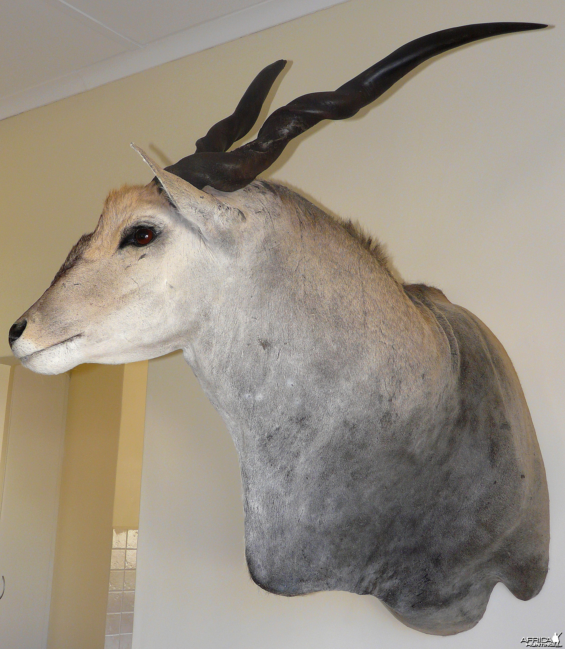 Casper's Taxidermy in Namibia Cape Eland