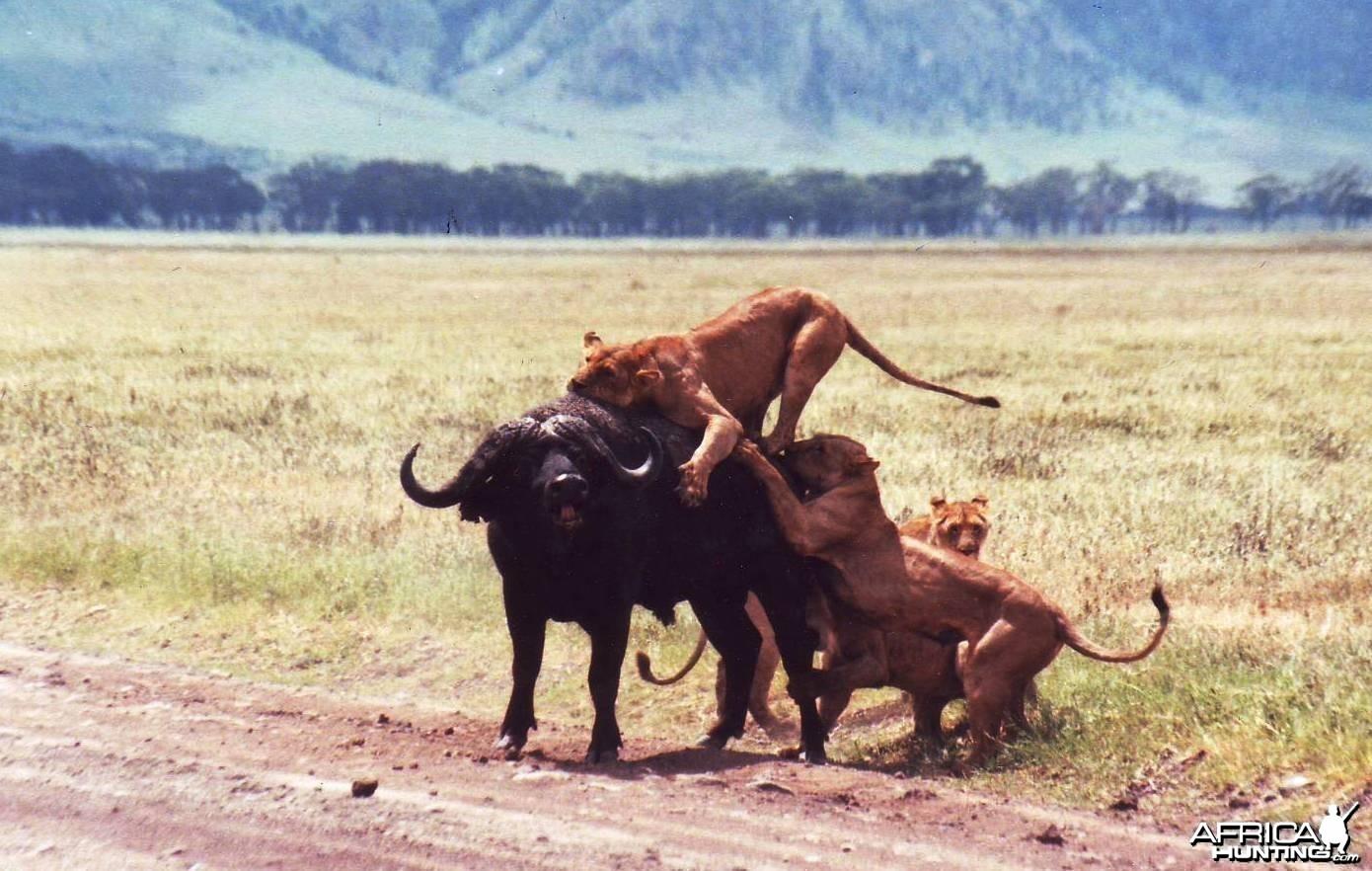 buffalo vs lions