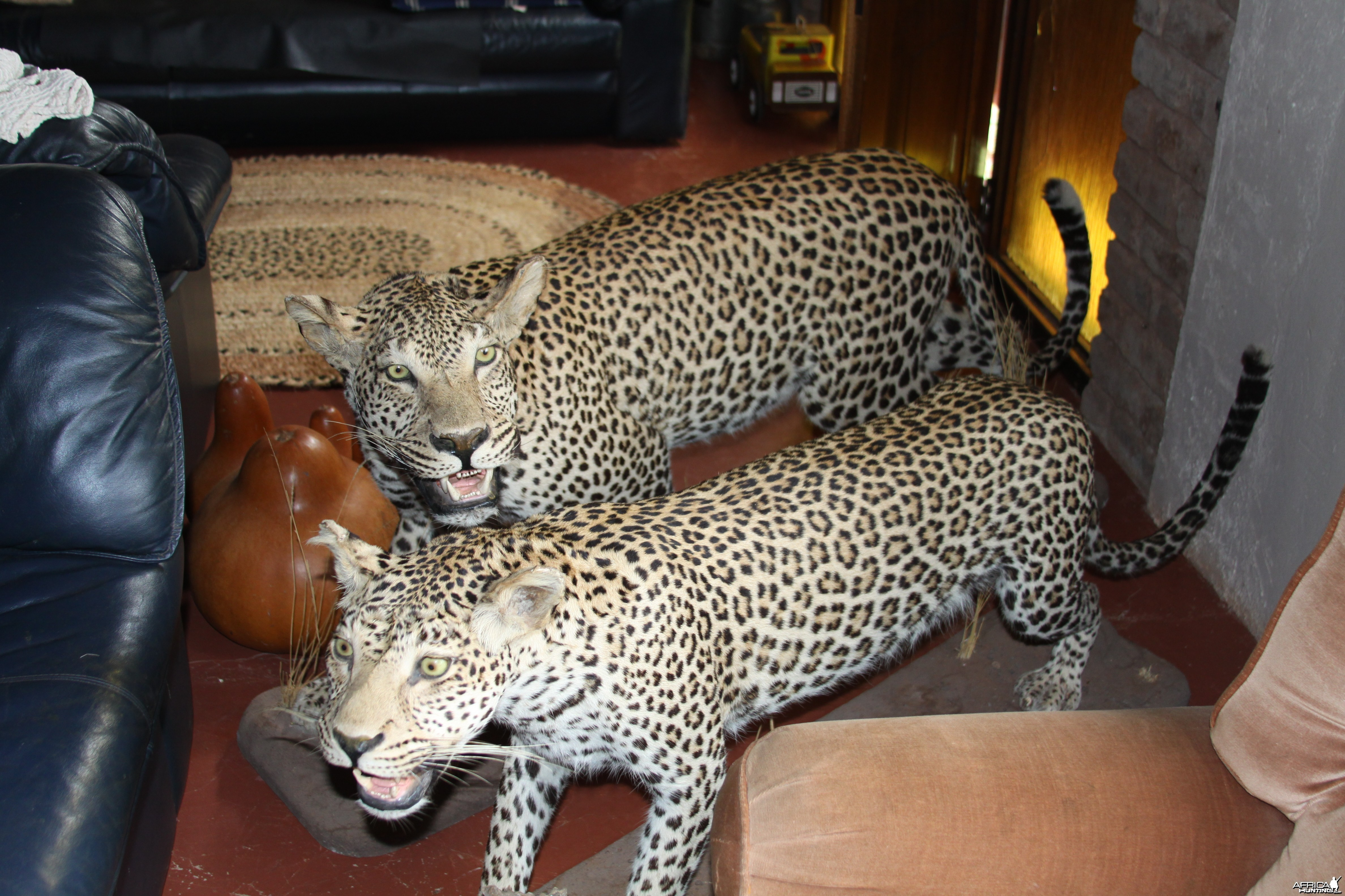 Male and Female Leopard