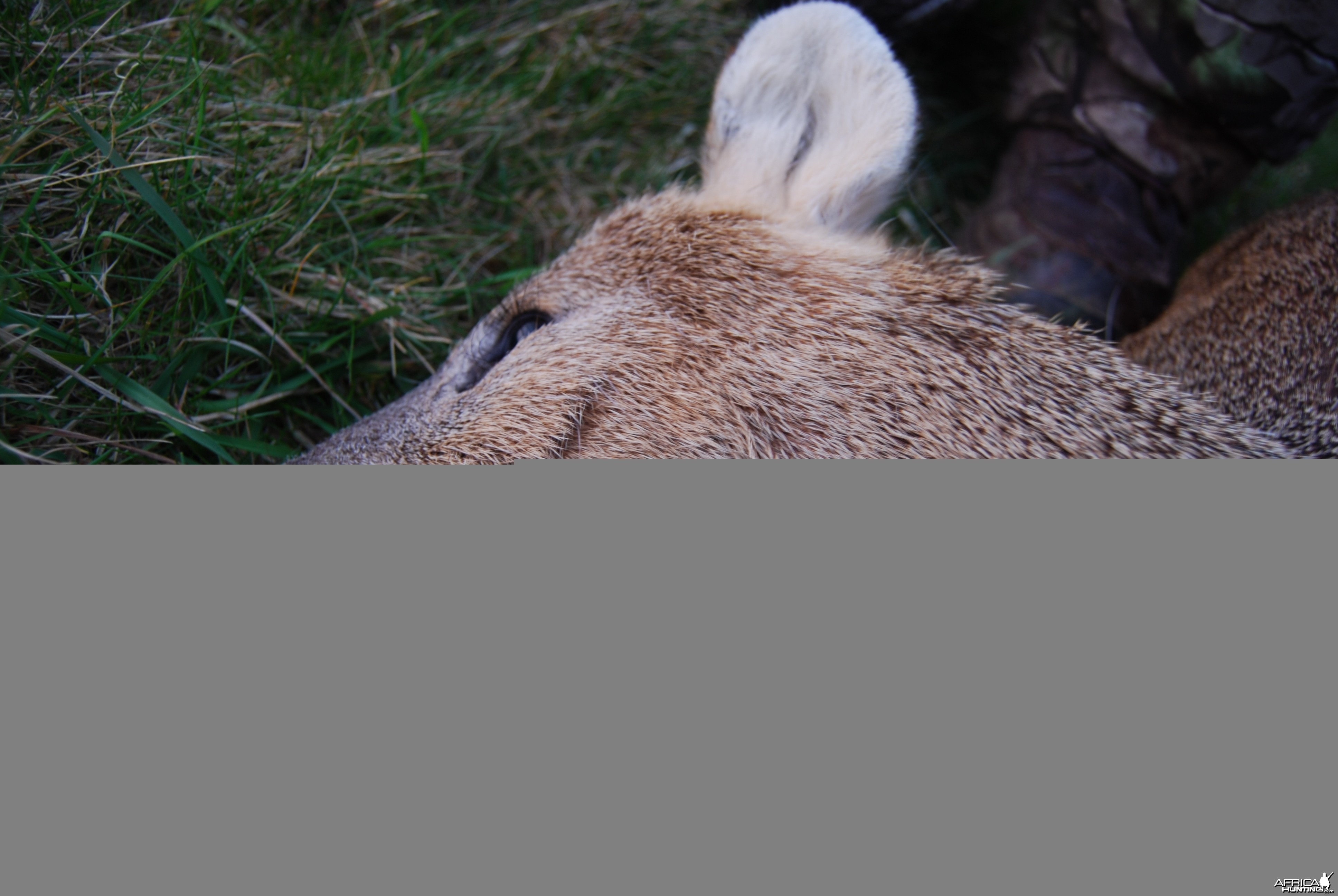 Chinese Water Deer Stalking