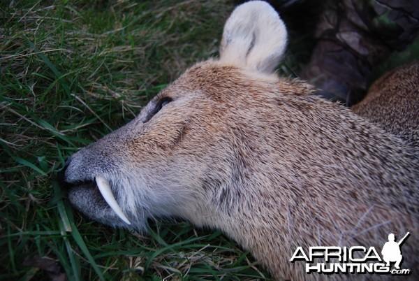Chinese Water Deer Stalking