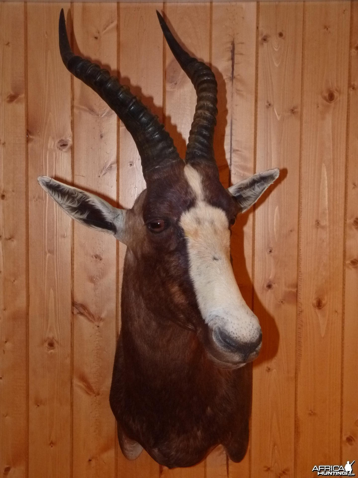 Blesbok Taxidermy