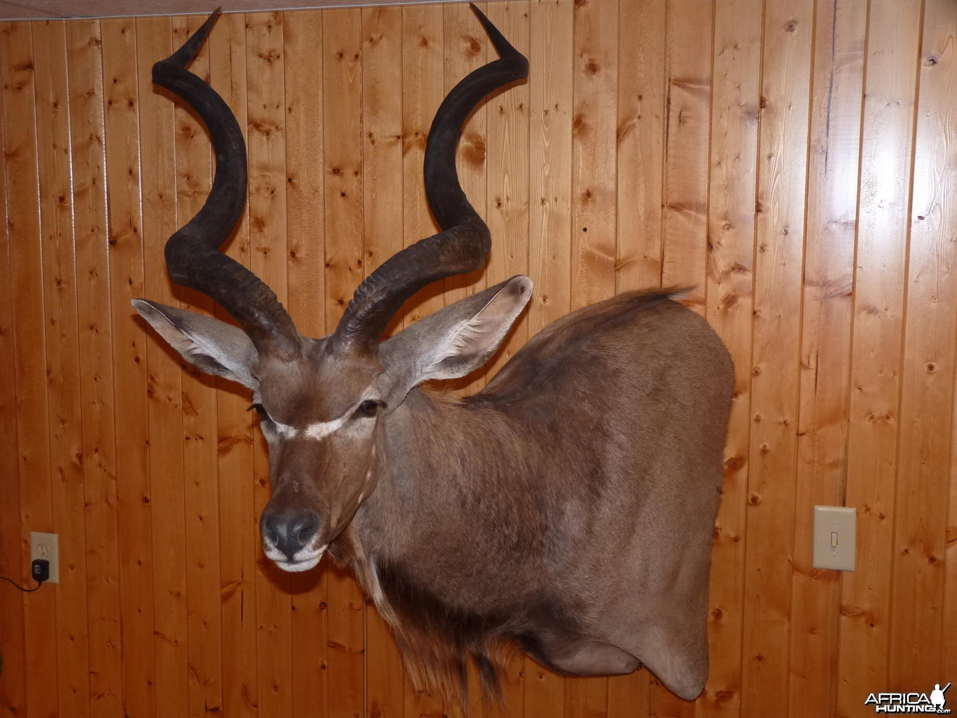 Kudu Taxidermy