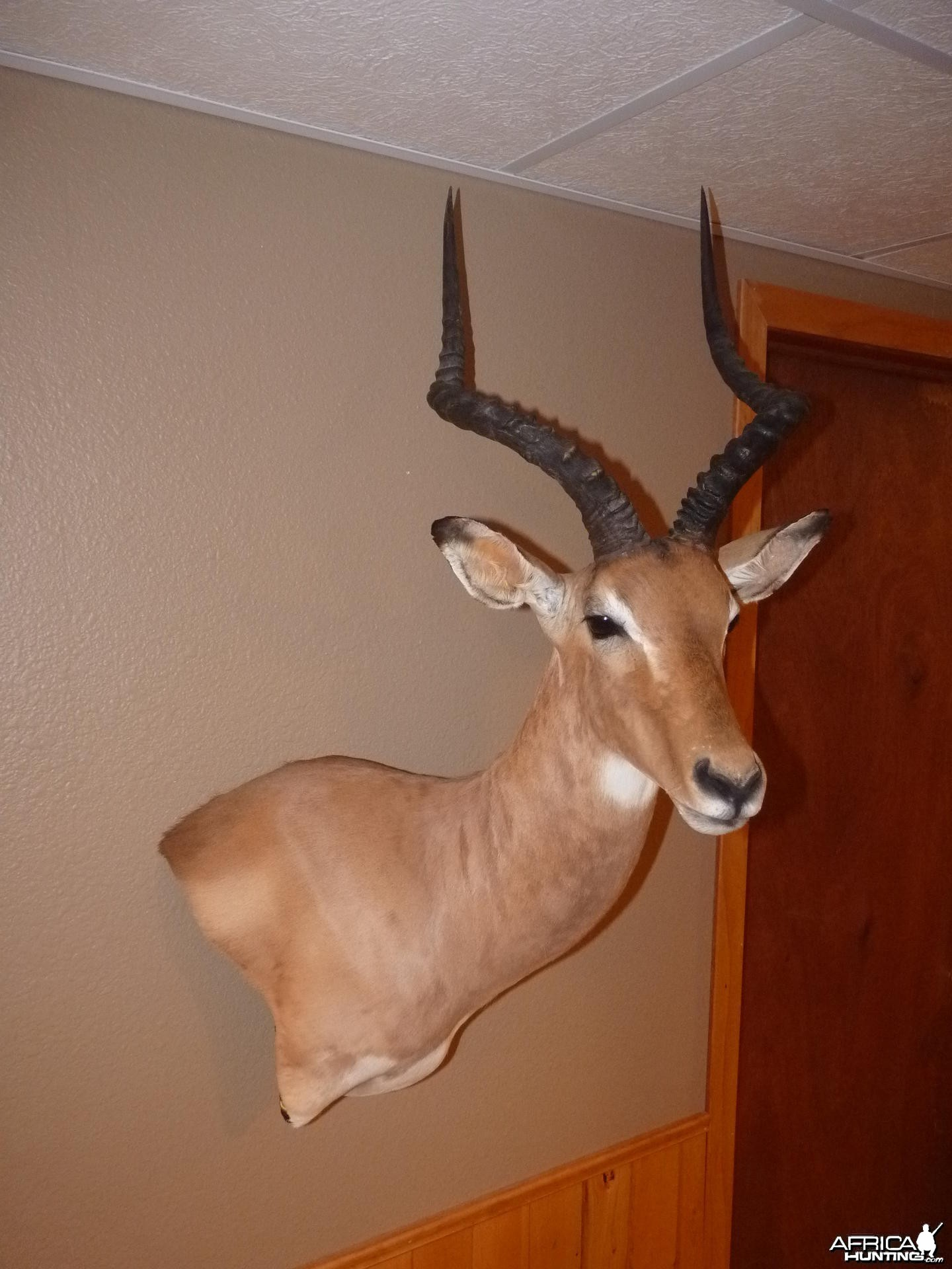 Impala Taxidermy
