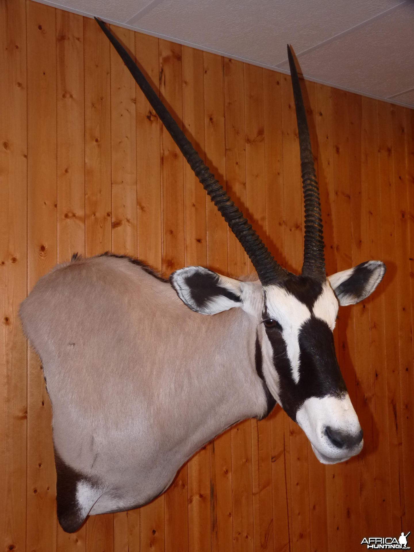 Gemsbok Taxidermy
