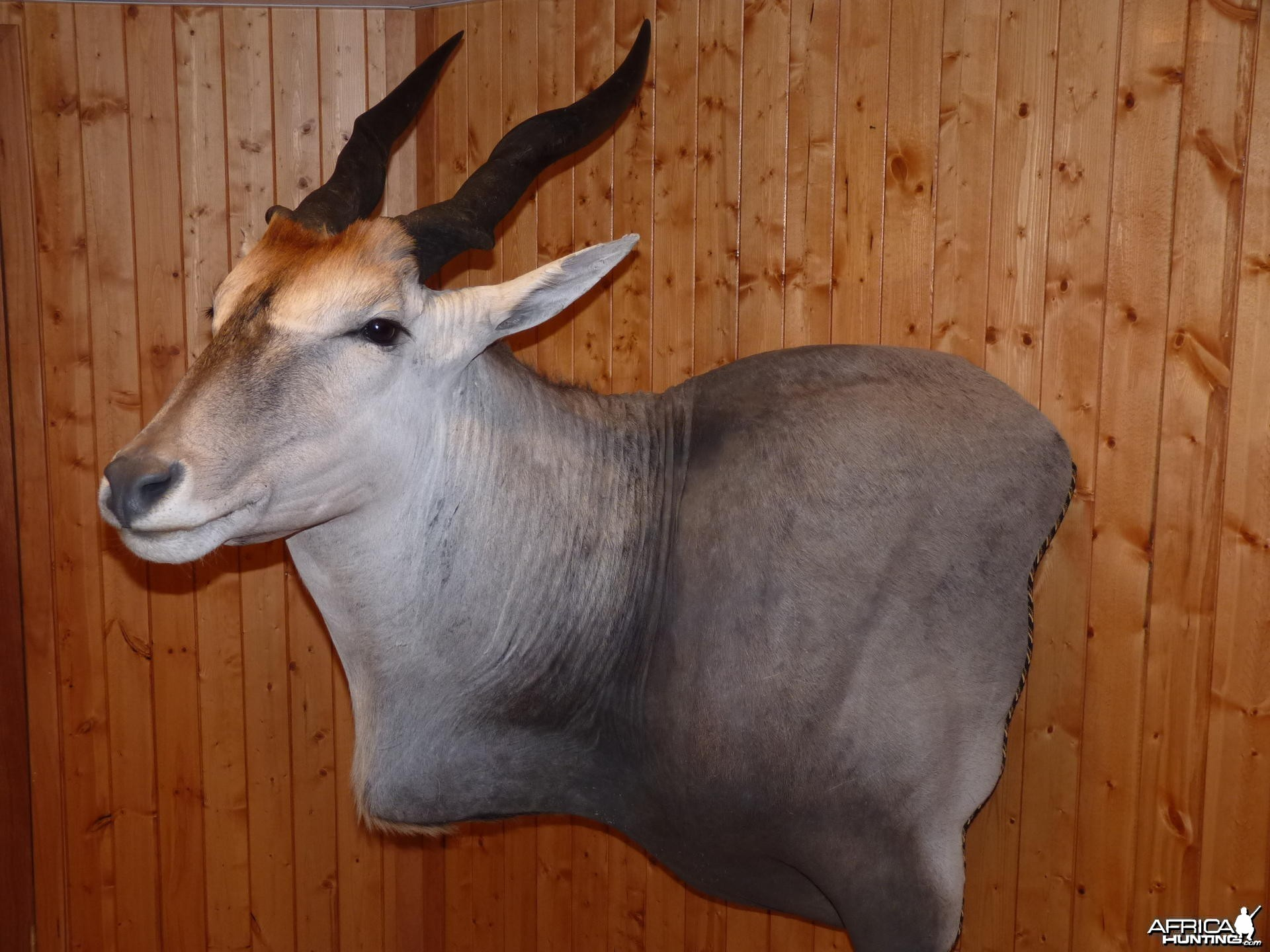 Eland Taxidermy