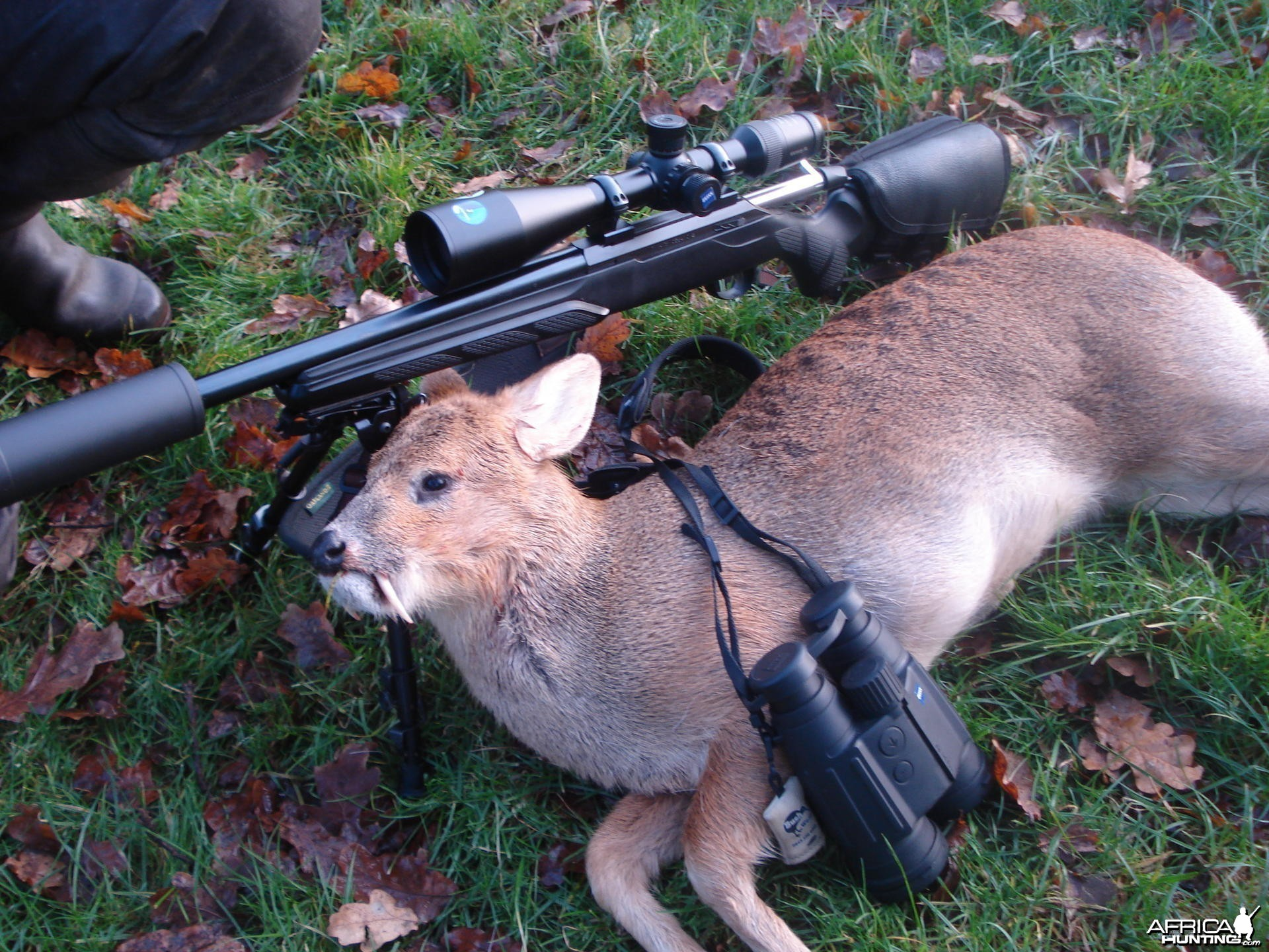 Chinese water deer hunt in the UK