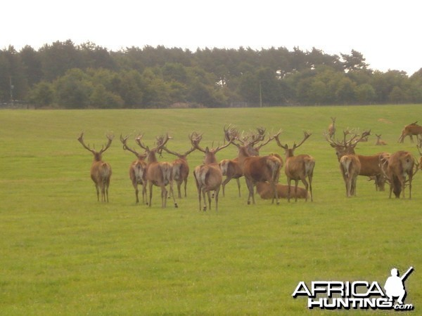 English red stag hunt