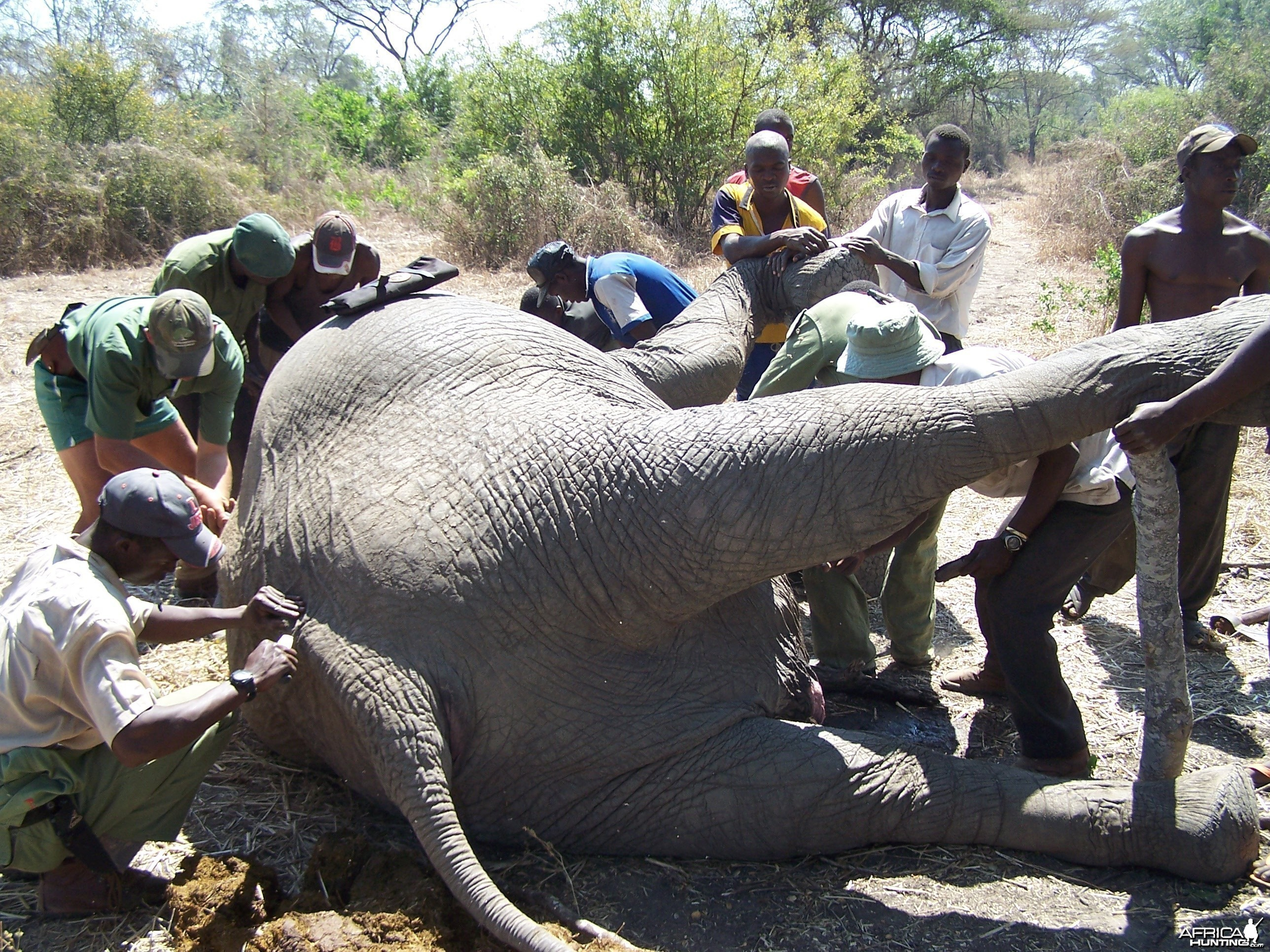 The hard work of butchering Elephant begins