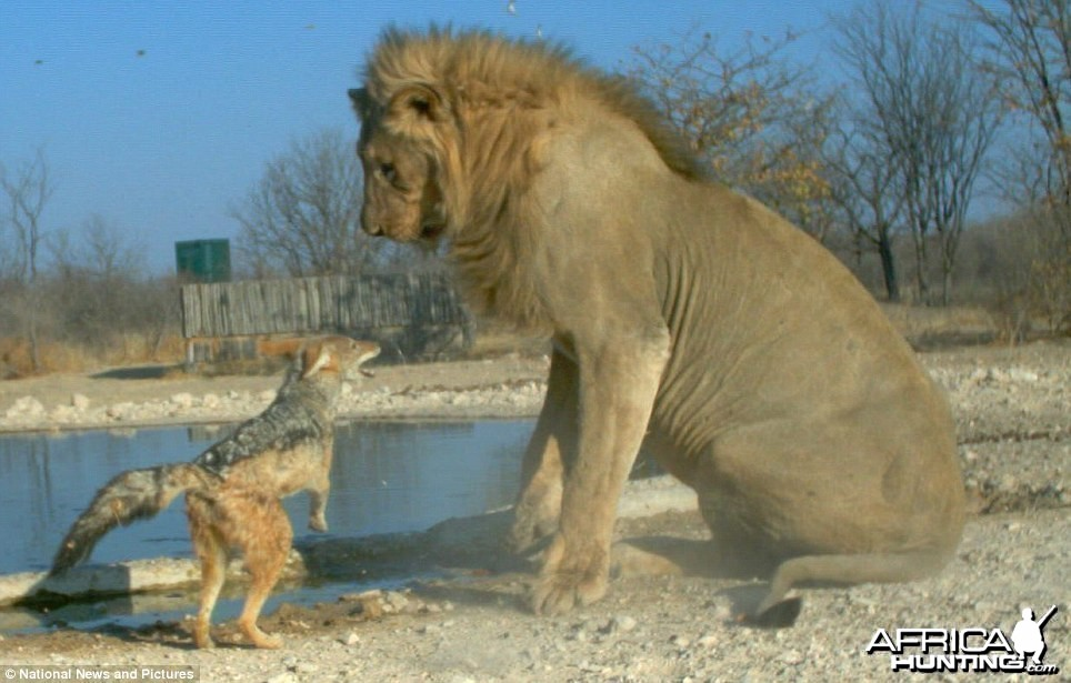 Feisty Jackal takes on huge Lion