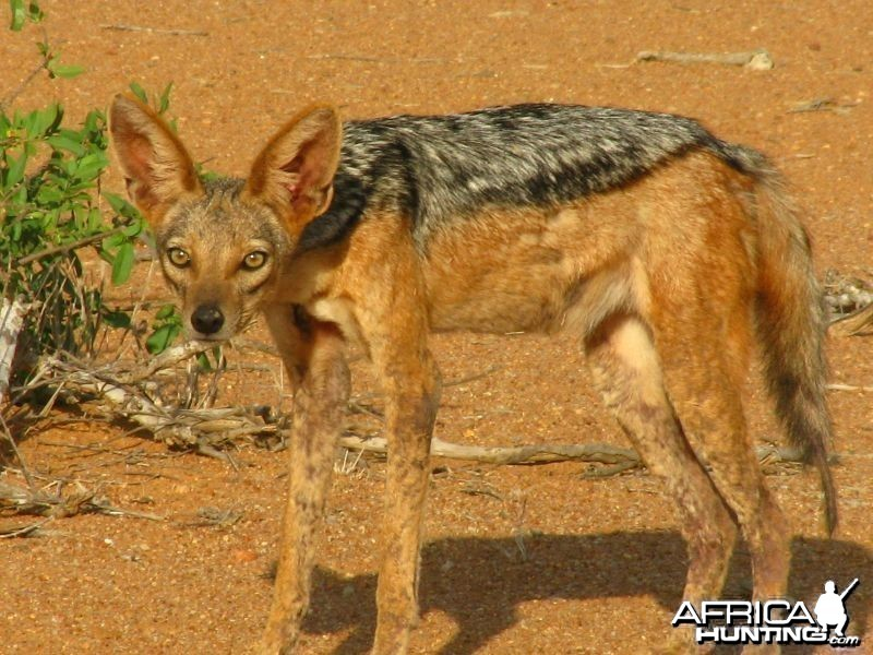 Black-Backed Jackal, Kenya