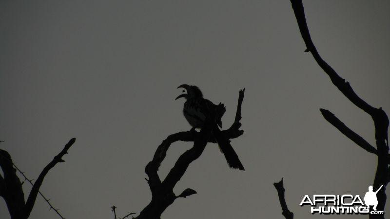 Feeding Hornbill