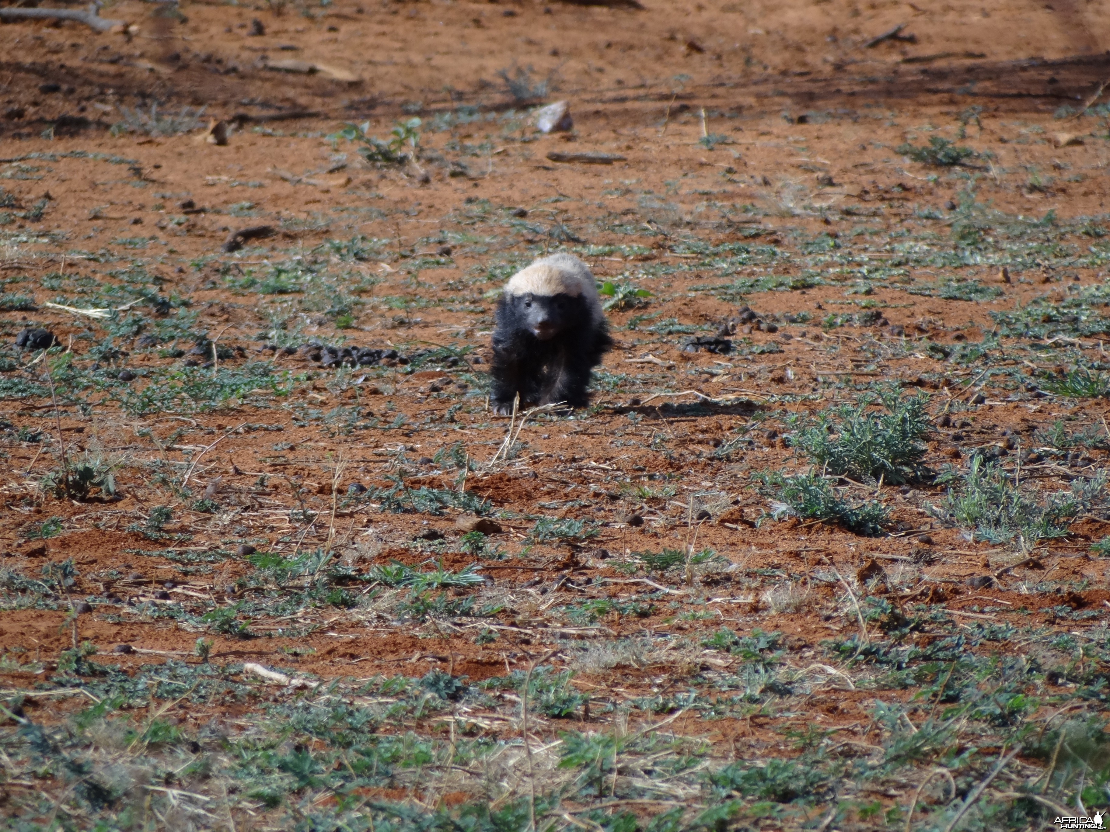 Honey Badger / Ratel Namibia