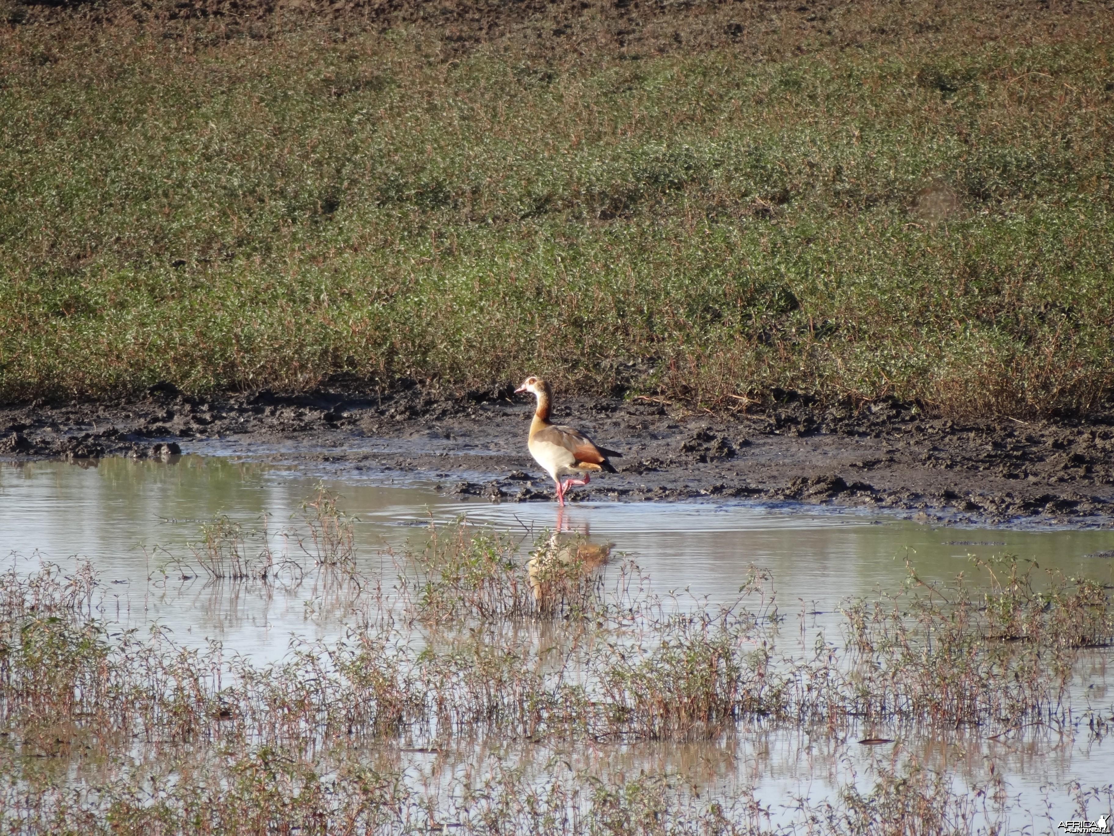 Egyptian Goose Namibia