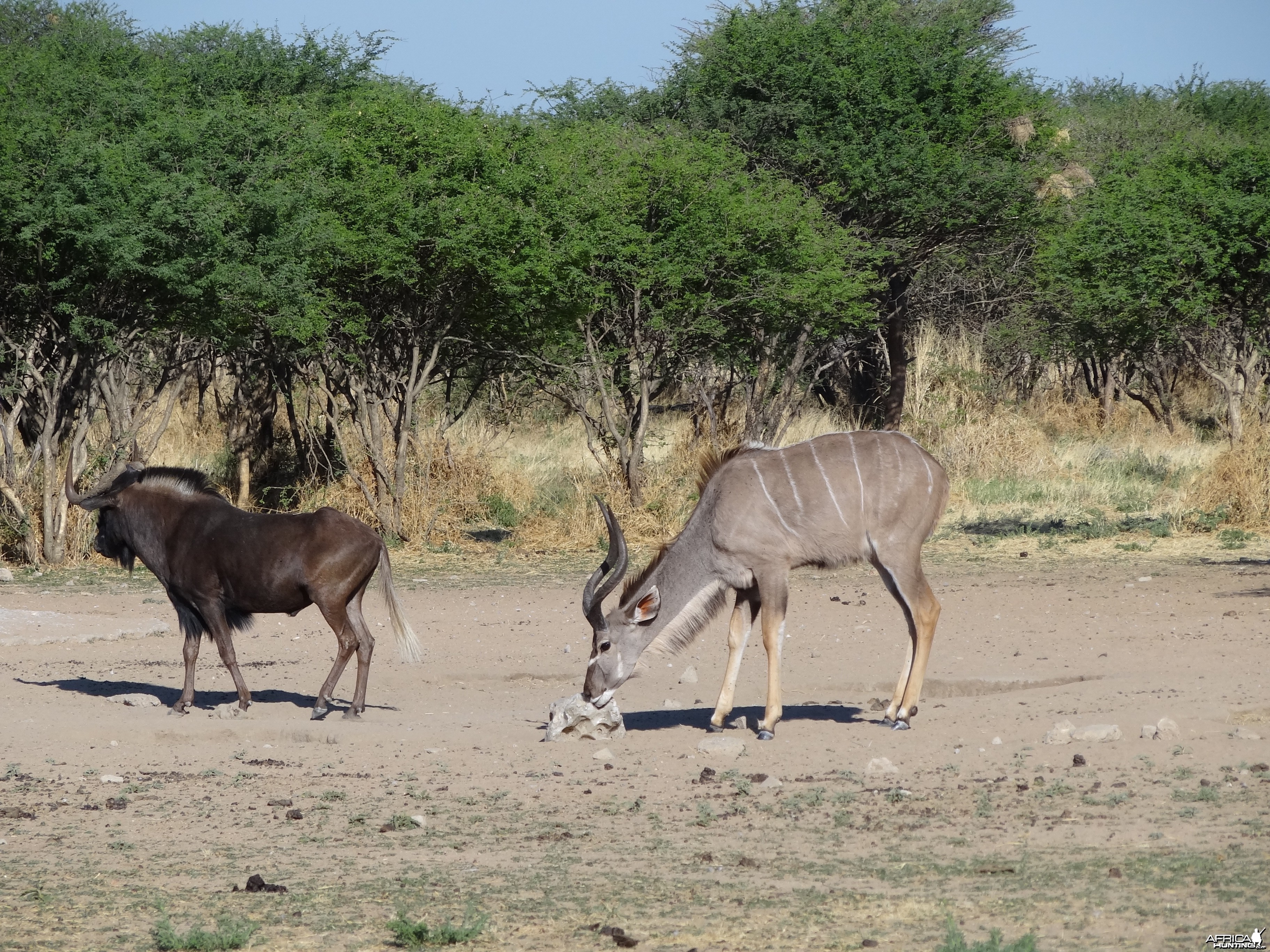 Black Wildebeest Namibia