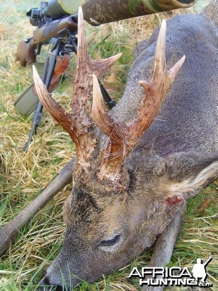 Hunting Roe Bucks in the UK