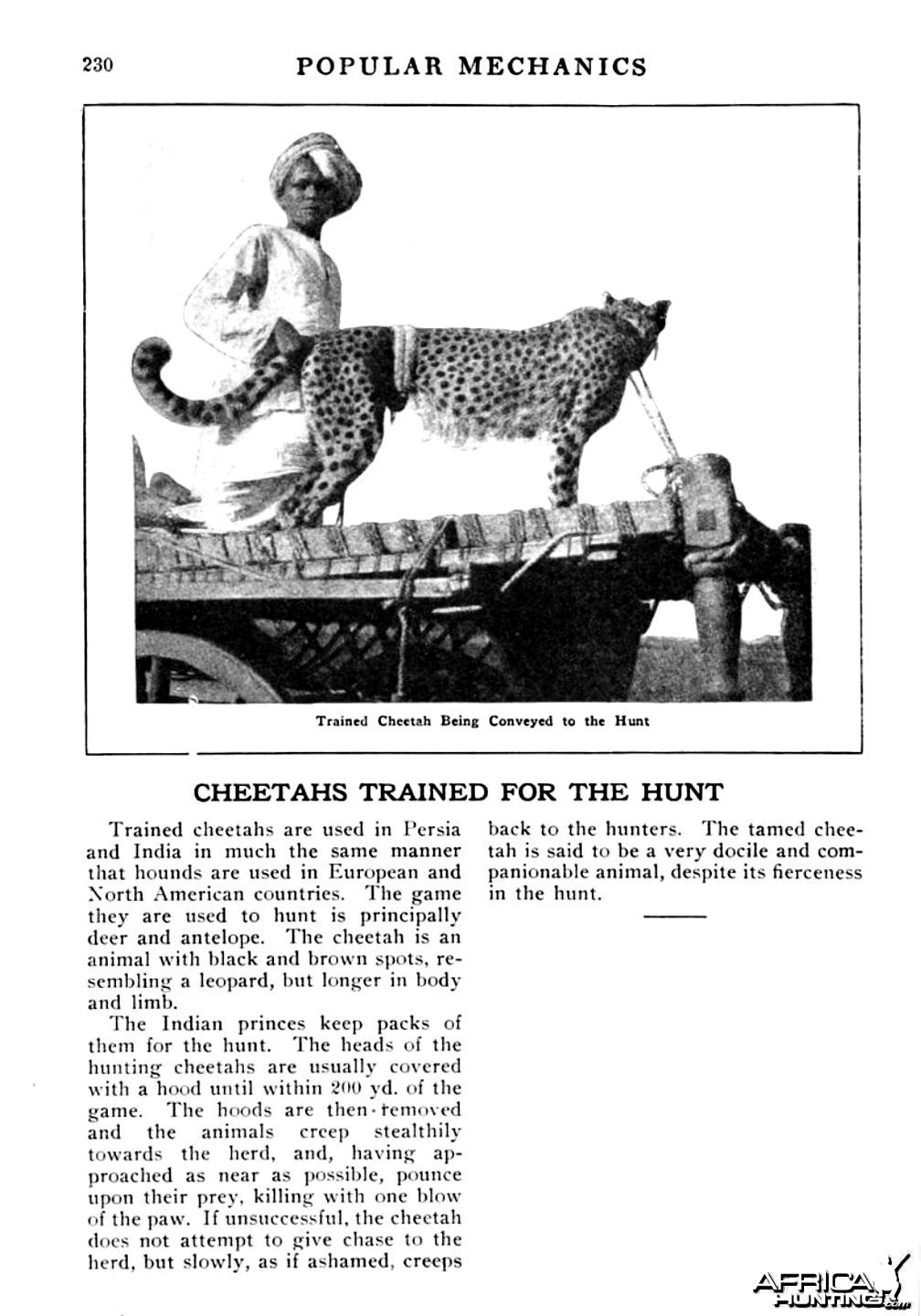 Cheetah Trained for the Hunt
