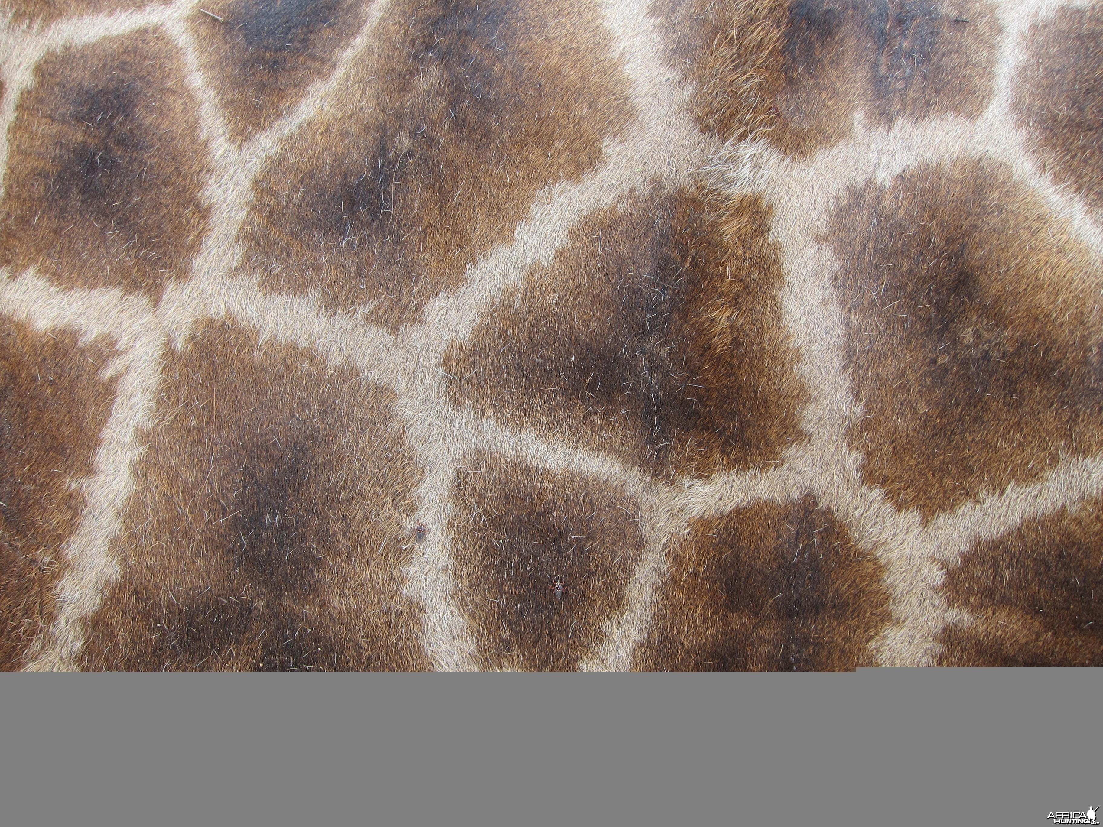 Giraffe Skin Namibia