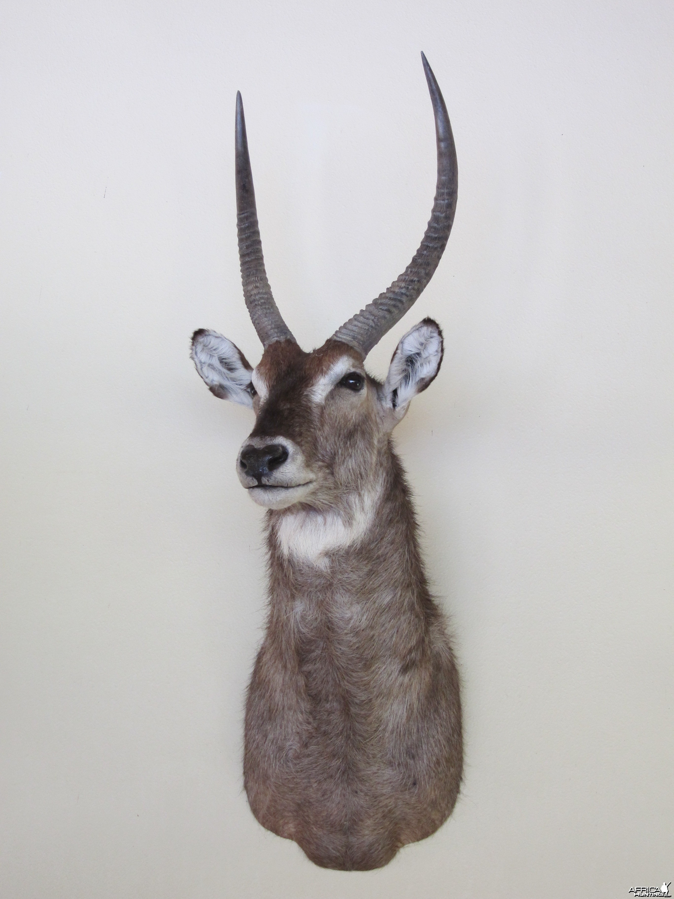 Waterbuck Shoulder Mount taxidermy