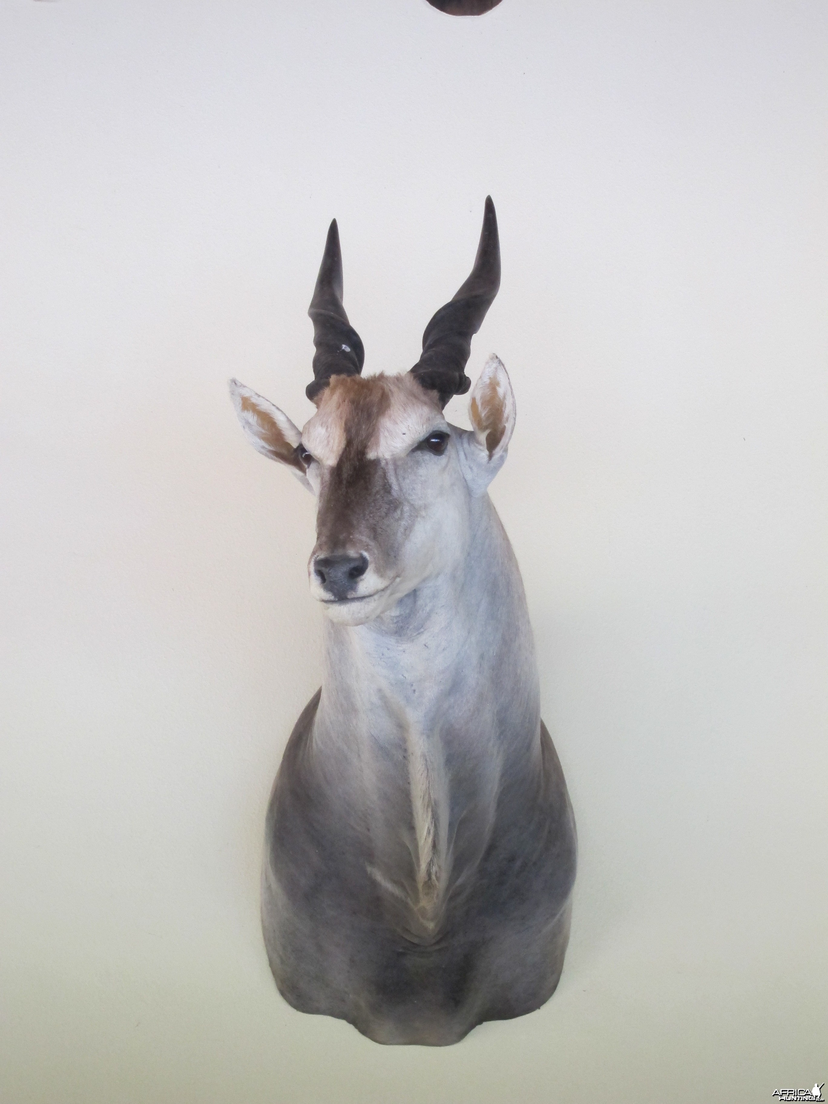 Cape Eland Shoulder Mount taxidermy